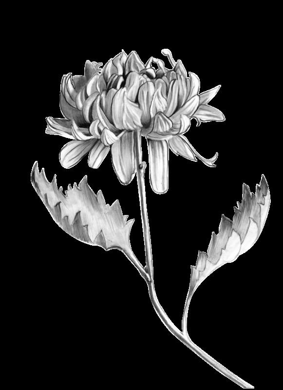 Peonie flower illustration