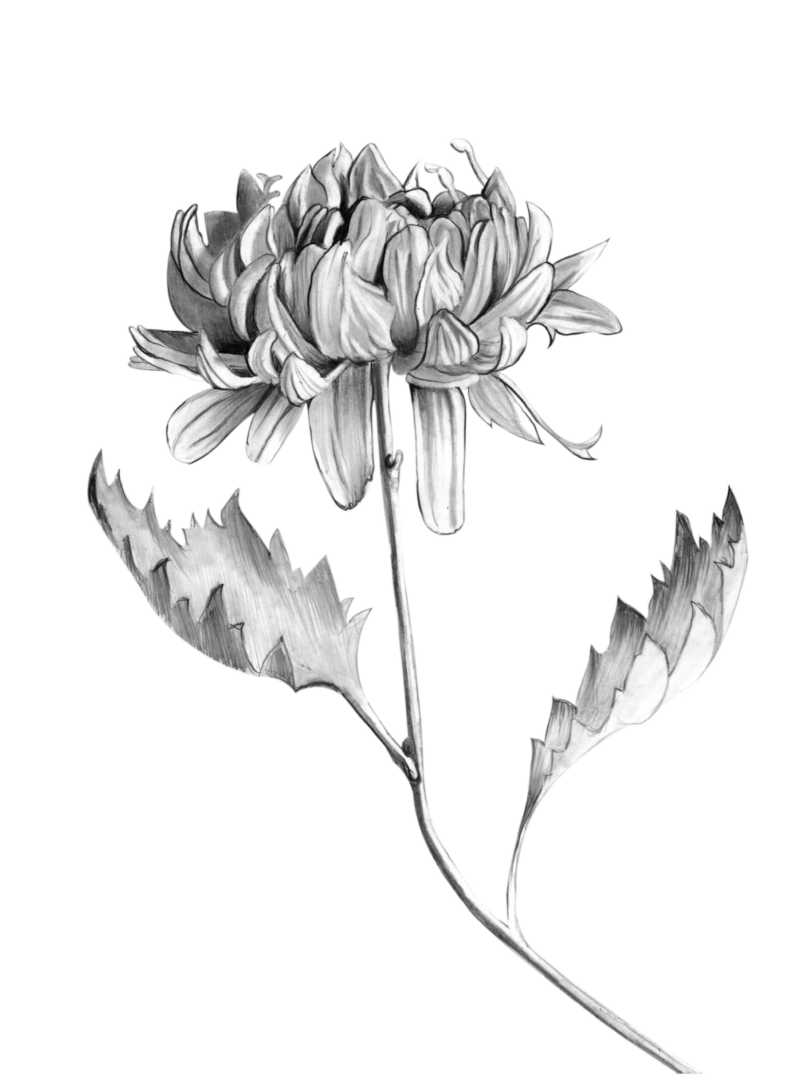 Peonie flower illustration