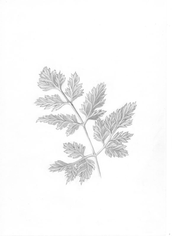 Parsley fresh herb drawing