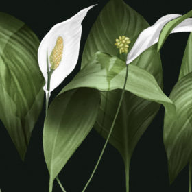 Peace Lily illustration
